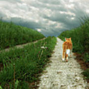 Lone Red And White Cat Walking Along Grassy Path Poster