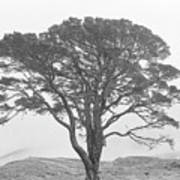 Lone Scots Pine, Crannoch Woods Poster