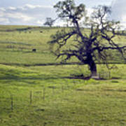 Lone Tree And Cows Poster