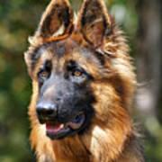Long Coated German Shepherd Dog Poster