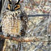 Long Eared Owl Resting Poster