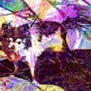 Long Haired Chihuahua Dog Pet  Poster