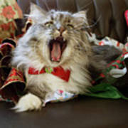 Long Haired Grey And White A Cat Yawns Amid Christmas Wrapping Paper Poster