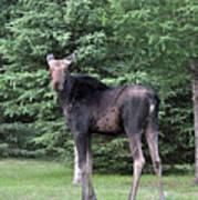 Long Legged Moose Poster
