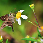 Long-tailed Skipper Butterfly Poster