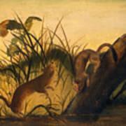 Long - Tailed Weasel Poster