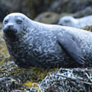 Long Whiskers On A Harbor Seal Poster