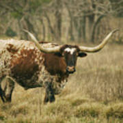 Longhorn Cow Poster