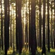 Longleaf Pine Forest Poster