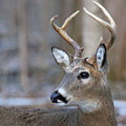 Looking Back Whitetail Deer Poster