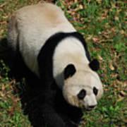 Looking Down At A Cute Giant Panda Bear Poster
