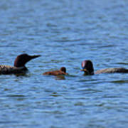 Loon Family Feeding Time Poster