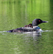 Loon With Chick On Back Poster