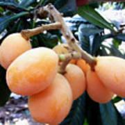 Loquat Exotic Tropical Fruit  Poster