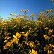 Lots Of Buttercups Against A Blue Sky Poster