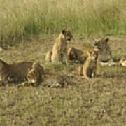 Lotsa Lions Poster