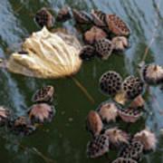Lotus In The Lake Poster