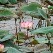 Lotus Pond -2 Poster