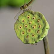 Lotus Seeds Poster