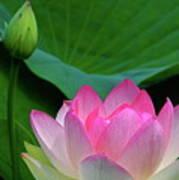 Lotus Siblings Poster