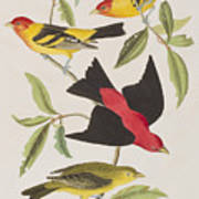 Louisiana Tanager Or Scarlet Tanager  Poster