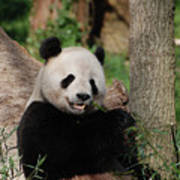 Lounging Giant Panda Bear With A Shoot Of Bamboo Poster
