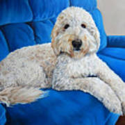 Lounging Goldendoodle  Poster