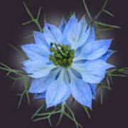 Love In A Mist Black With Light Poster
