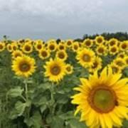 Love My Sunflowers Poster