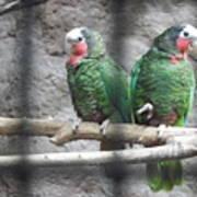 Love Parrots Poster