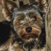 Loveable Yorkie  Poster