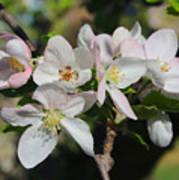 Lovely Apple Blossoms Poster