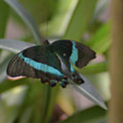 Lovely Blue And Black Emerald Swallowtail Buterfly Poster