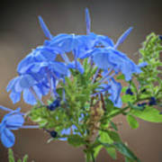 Lovely In Blue Poster