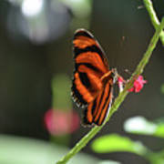 Lovely Orange Oak Tiger In The Spring Poster