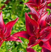 Lovely Red Lilies Poster