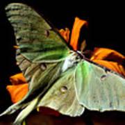 Luna Moth Poster