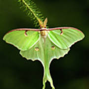 Luna Moth Spreading Its Wings. Poster