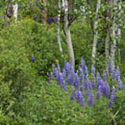 Lupine And Aspens Poster