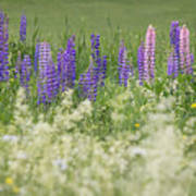Lupine Bright Poster