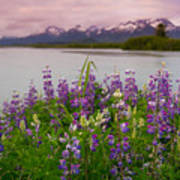 Lupine Of The Copper River Delta Poster