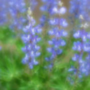 Lupine Soft Focus Poster