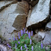 Lupines And Rock Face Poster