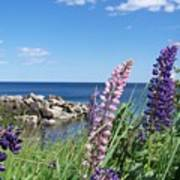 Lupines At Lake Superior Poster