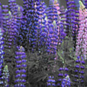 Lupins 2016 35a Poster
