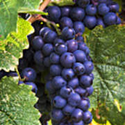Luscious Grape Cluster Poster