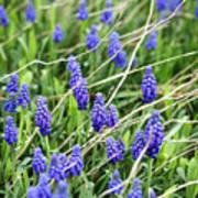 Lush Grape Hyacinth Poster