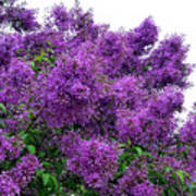 Luxurious Lilacs Poster