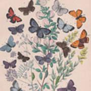 Lycaenidae Poster