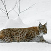 Lynx Hunting In The Snow Poster